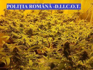 Cultură de cannabis, descoperită la Tulcea. FOTO Poliția Română