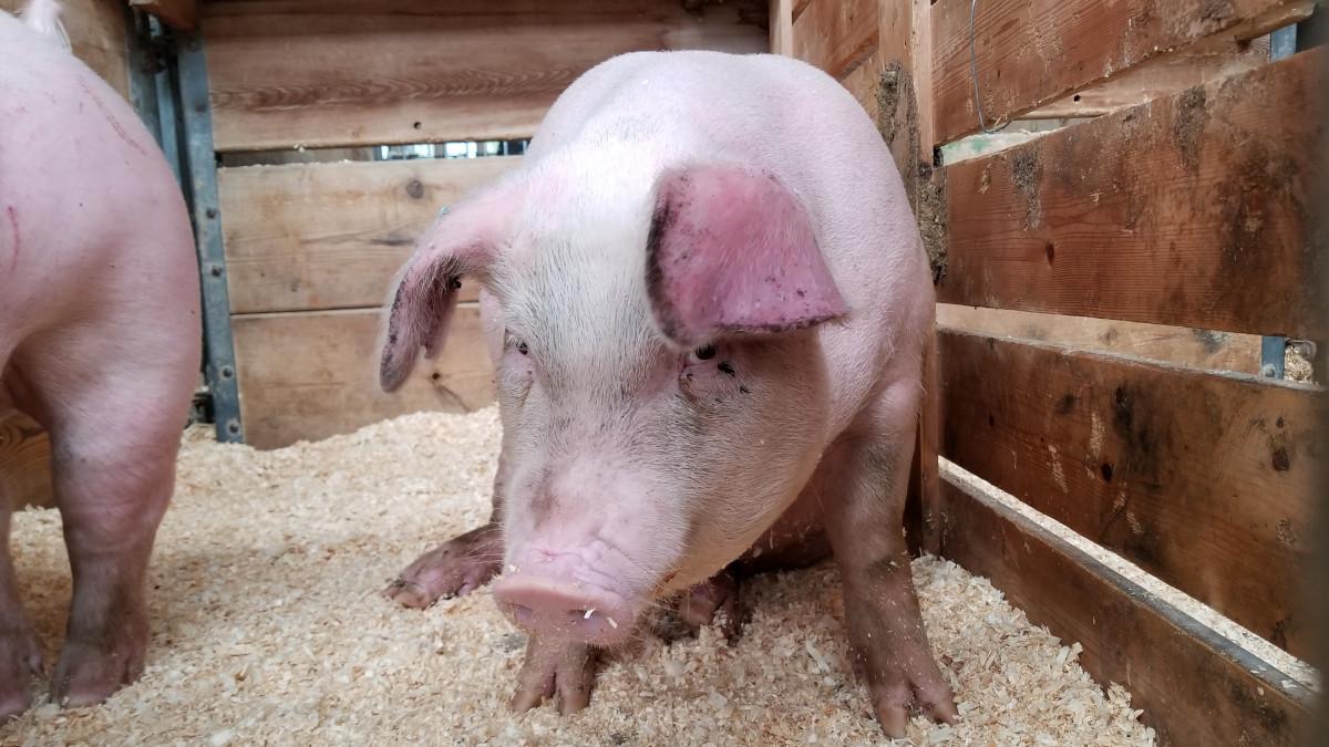 laura-anderson porc pesta