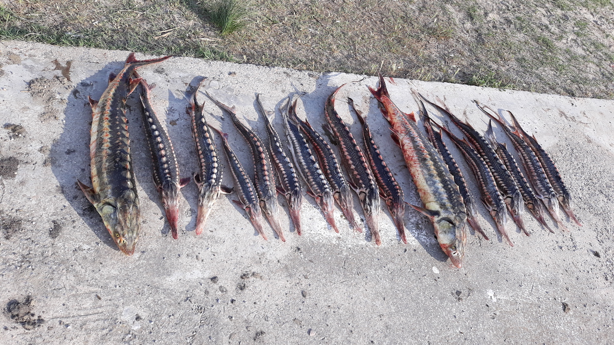 Sturioni pescuiți de braconierii din Delta Dunării. FOTO ARBDD
